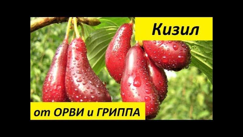 Кизил. Полезные для Здоровья Свойства Кизила. Кизил от ОРВИ и ГРИППА