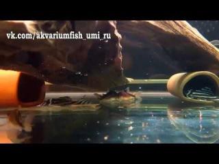 L-046 Гипанциструс Зебра Самец 5.5см VS Коридорасы Мелини от 4см