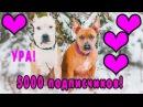 ИНТЕРВЬЮ ПИТБУЛЯ 5000 подписчиков дрессировка собак