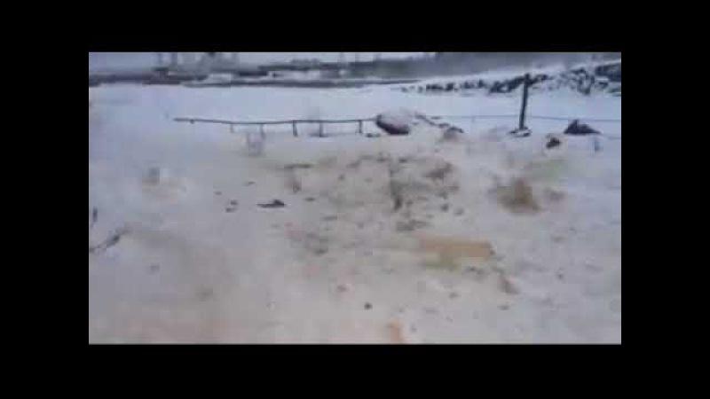 Нашествие песцов в Норильске