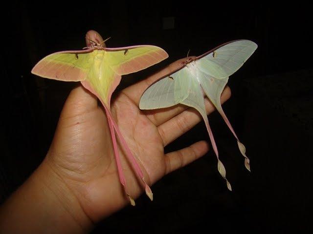 RARE MOTH BREEDING GUIDE! Actias dubernardi (Chinese moon moth)