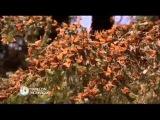 Le Papillon Monarque - Naturellement - Disneynature