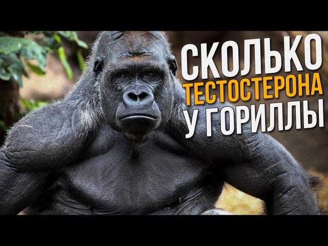Почему гориллы сильнее чем люди на стероидах? (Тестостерон, Мышцы, Сила обезьян)