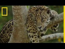 Ayahuasca See How This Popular Drug Affects Jaguars in the Amazon National Geographic
