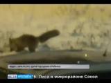 В Ярославской области дикие животные выходят из леса к людям
