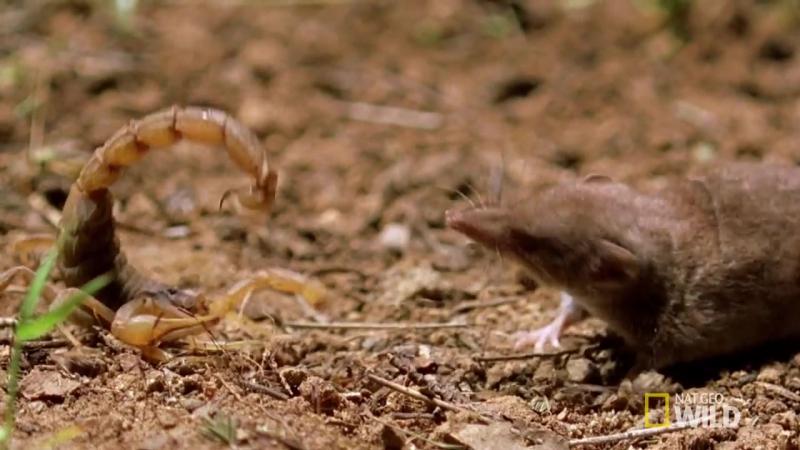 Psycho Shrew vs Scorpion Animal Fight Night