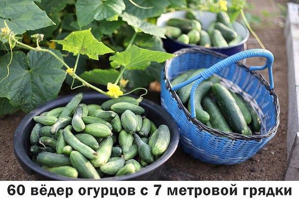 Опытные огородники получают первый урожай огурцов уже в начале июня! Все секреты урожайной огуречной грядки: