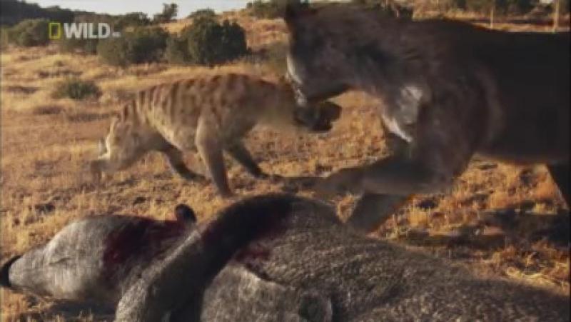 Avcılar 3 - Hyaenodon