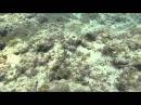 Leopard Flounder Bothus pantherinus