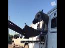 Большое бедствие с лошадью она застряла в окне коневоза Как только она туда по