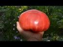 Помидоры. Сорт бычье сердце. Замечательный результат выращивания!