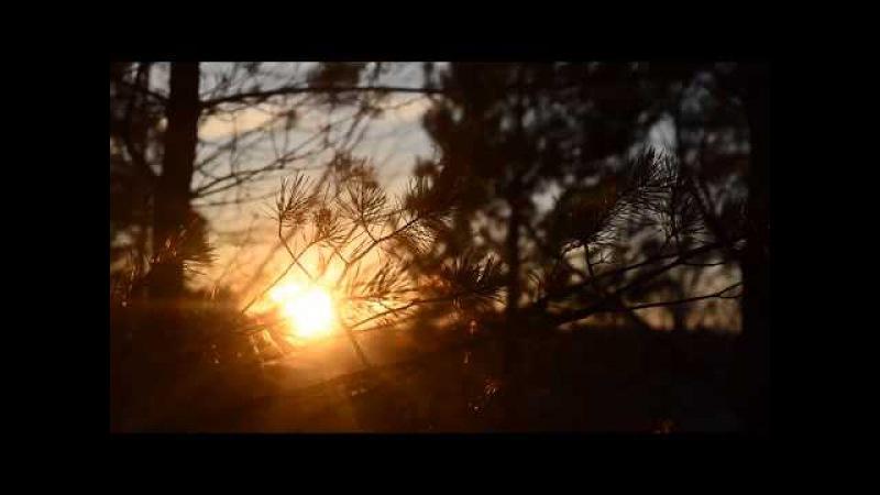 Солнце на закате светит сквозь сосновые иголки . Footage/Футажи
