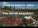 Пеньки вместо тайги как Китай превращает Сибирь в пустыню