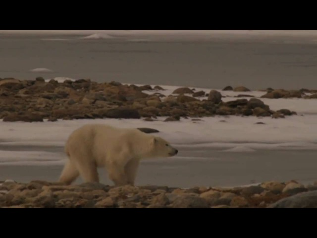 Churchill Canada's Polar Bear Alert Program