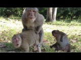 Amazing Monkey Mating - Monkey Breeding Mating To Give Birth #180