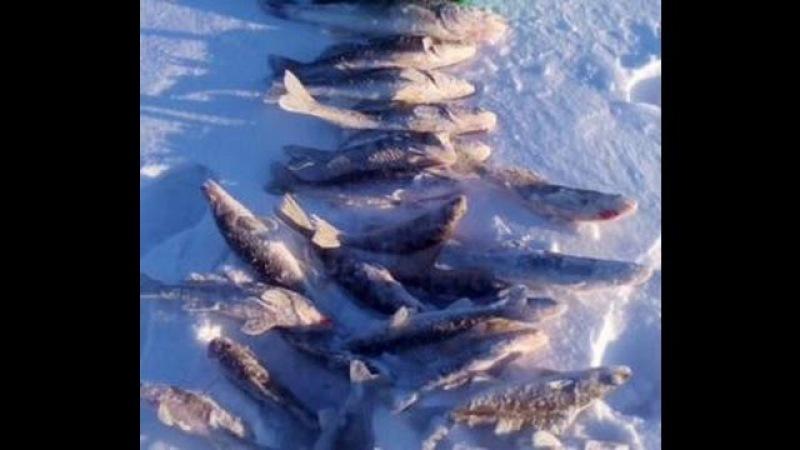 Зимняя рыбалка Вот это клёв 2 Ловля берша на тюльку топим мелкого судака брако