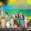 "питомник ""Minilion"" -Саванна, Шотландские кошки"