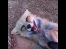 Fox gets tickled...