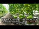 ПОКРАШЕННАЯ кисть томата Когда и сколько убрать листьев возле кисти