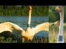 Лебедь кликун. Встреча через 8 лет! Whooper swan. Meeting in 8 years!