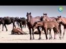 Как казахи приручили лошадей. Документальный фильм.