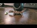 Маленький гадюковый геккон пытается одолеть гусеницу.