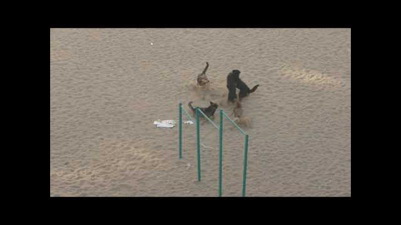Собачьи бои на детской площадке