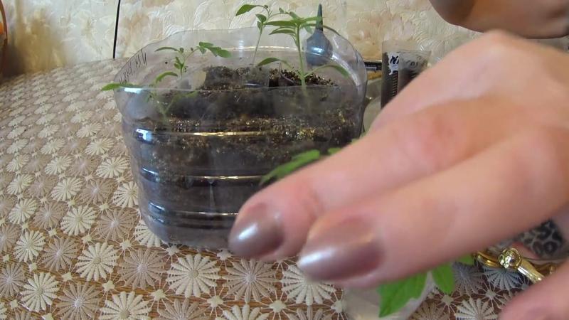 Китайский метод выращивания рассады 9