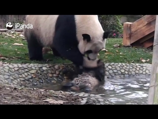 5Panda mom forces her babe to take a bath
