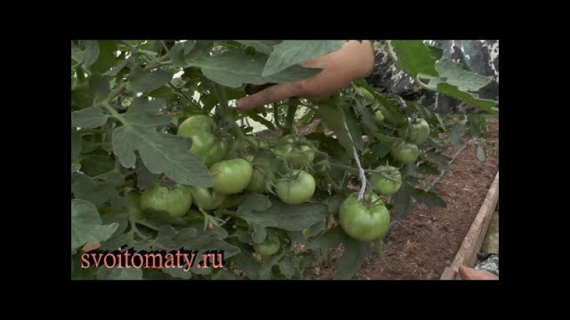 Как и когда подвязывают кисти томатов