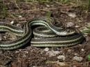Вторжение или дом для Подвязочных змей