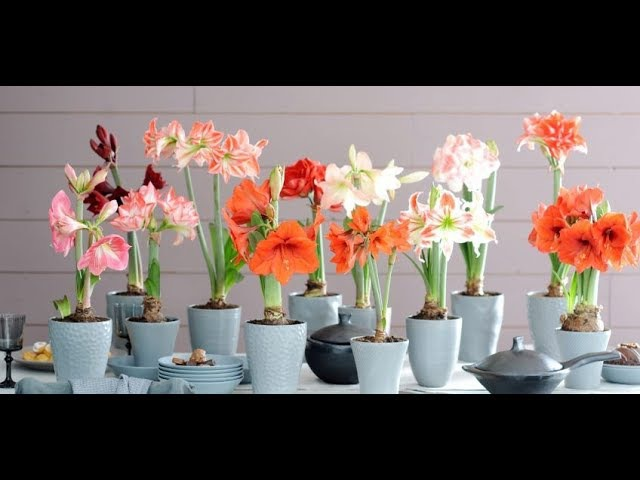 Гиппеаструм, цветение, размножение, уход в домашних условиях
