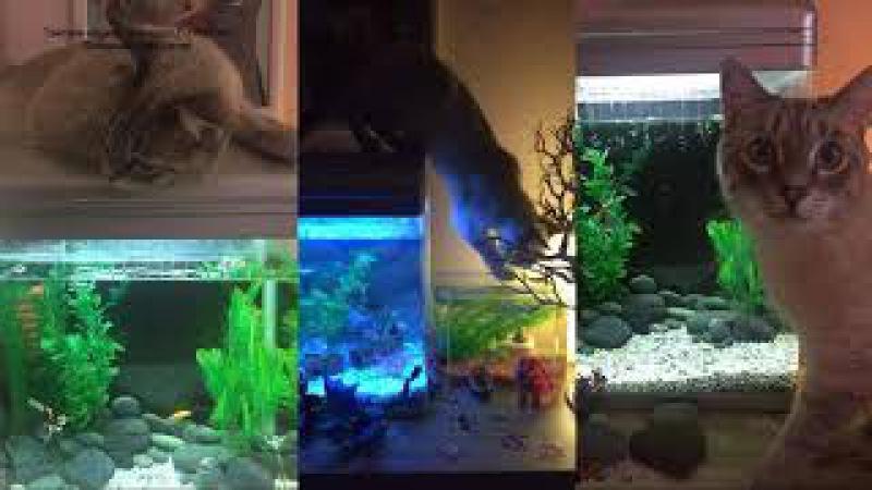 Тайский кот Макс, наш выпускник, не смог достать рыбок из аквариума! Тайские кошк...