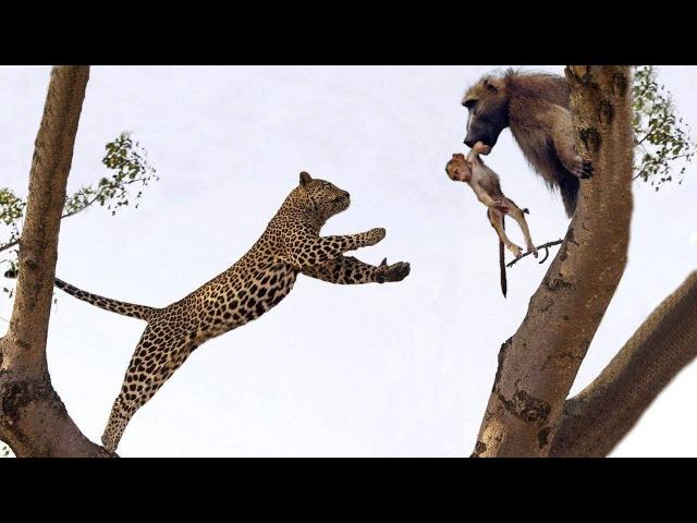 Baby baboon leopard
