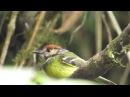 Rufous crowned tody flycatcher Рыжешапочный тиранчик Poecilotriccus ruficeps