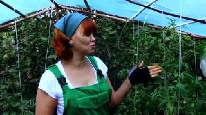 Болезни помидоров в теплице скручиваются листья вершинная гниль фитофтороз