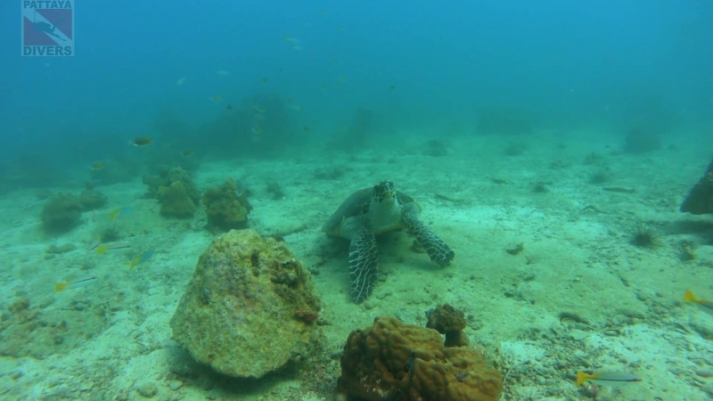 Черепаха бисса на дайвсайте Turtle Point острова Ко-Чуан | Дайвинг в Паттайе