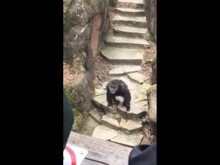 Эксклюзив! обезьяна кидается какашками в бабушку