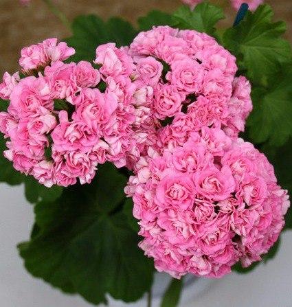 Австралиан пинк розебуд особенности выращивания 92