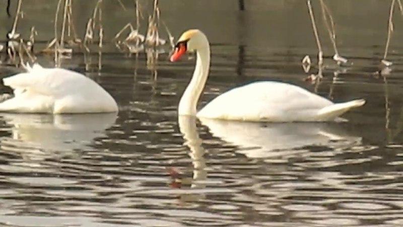 Это красиво. Лебеди на воде. г.Кропивницкий (Кировоград).