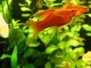 аквариумистика меченосцы продажа akvariumok