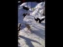 утки мускусные