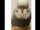 Выставочные волнистые попугаи чехи