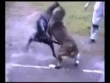 Volkodav  Vs. Nemeckij Dog