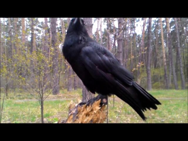 Огромный ворон (ворона) ручной в лесу один без присмотра. Huge crow (crow) handmade in the woods