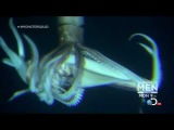 Giant Squid (Architeuthis) footage, January 27, 2013