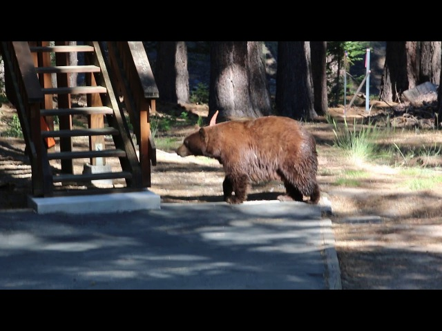 Incredibly calming violin convinces family of bears to chill out