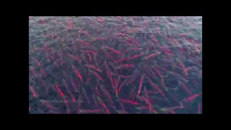 Salmon in Lake Kuril, Kamchatka from Drone in 4K