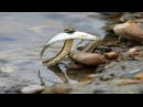 Змеи на рыбалке воруют и жрут рыбу