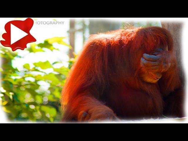 Рабочие брили самку орангутана и использовали как пр... (16)